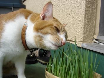 猫草がっつき