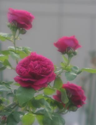 rose0604