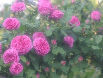 rose0605