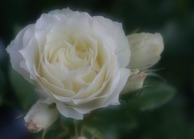 rose0606