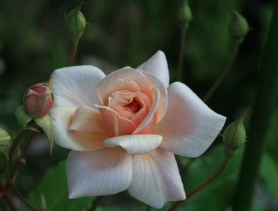 rose0608