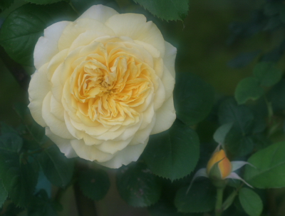 rose0613