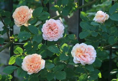 rose0614