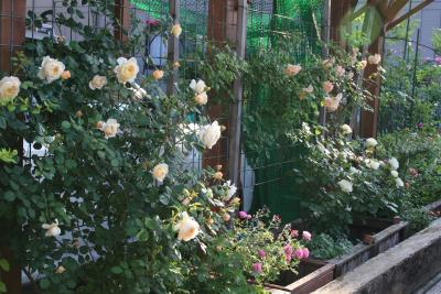 rose0615