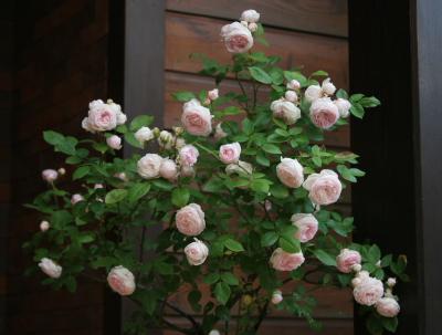 rose0618