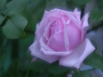 rose0620