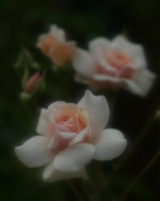 rose0621