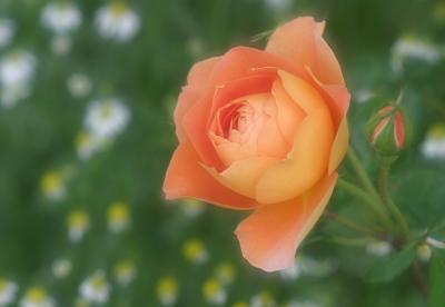 rose0623
