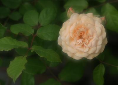rose0624
