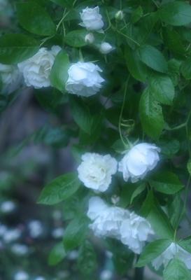 rose0625