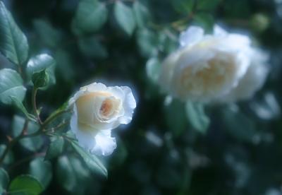 rose0626