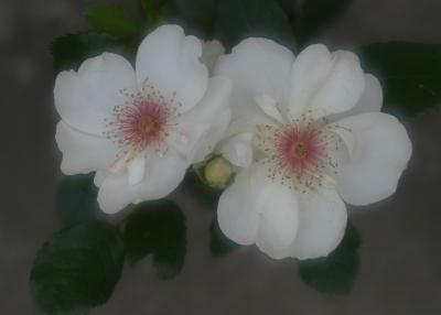 rose0627