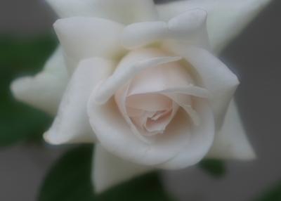 rose0628