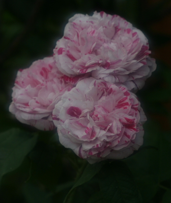 rose0630