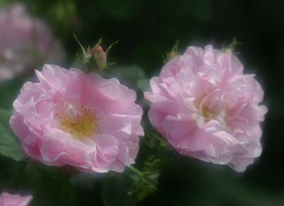 rose0631