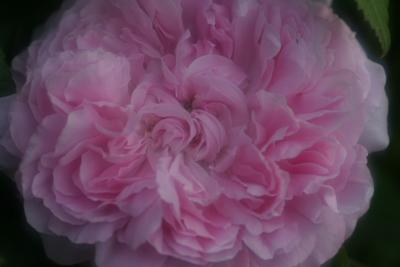 rose0634
