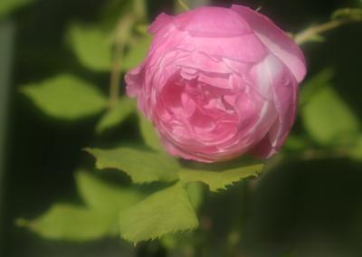 rose0635