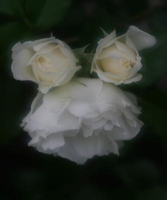 rose0636