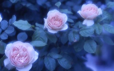 rose10