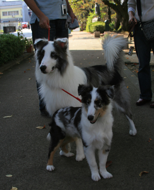 shelties1