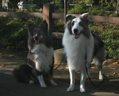 shelties10