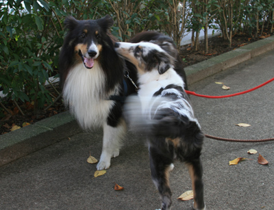 shelties2