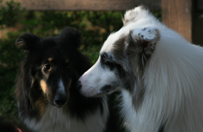 shelties9