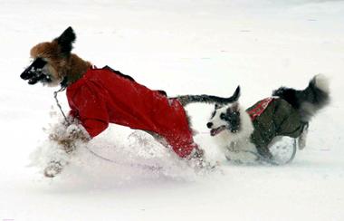 snowdogs2