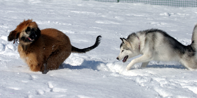 snowdogs11
