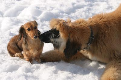 snowdogs12