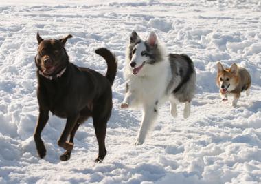 snowdogs3
