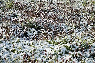 ひめおどりこ草と雪