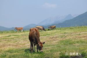 大山とジャージー牛