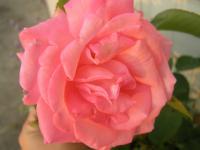 rose2-6-20.jpg
