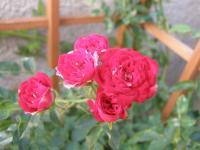 rose6-20.jpg