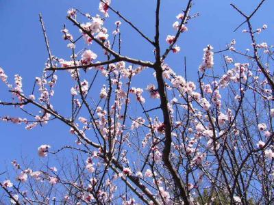 杏の花・ピンク