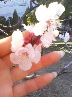 杏の花・携帯