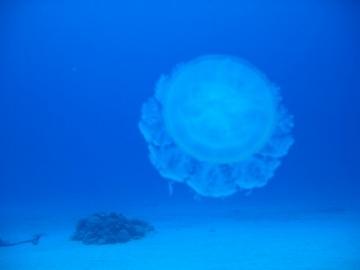 jellyfish1-3
