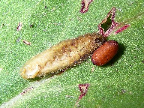 ヤドリバエ蛹