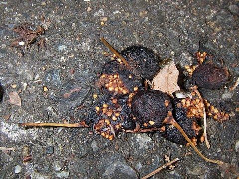 路上のイヌビワの果実