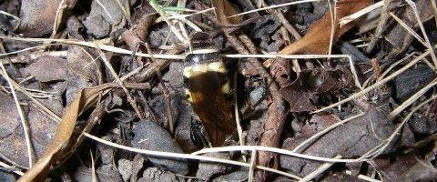 ツチバチの一種