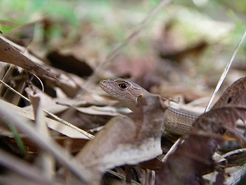 カナヘビ幼体