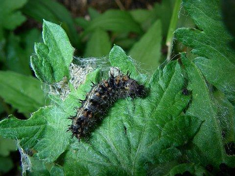 ヒメアカタテハ幼虫