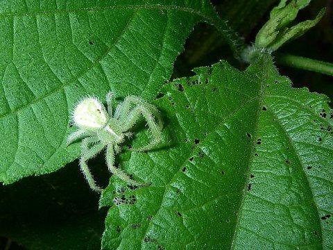 アシナガカニグモ