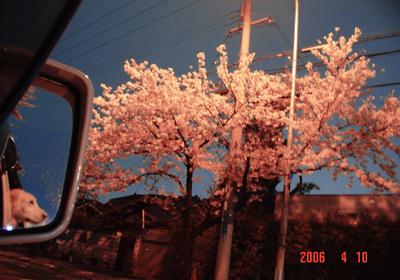 060410_07_zabusakura.jpg