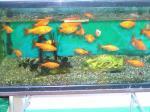 幼稚園の金魚
