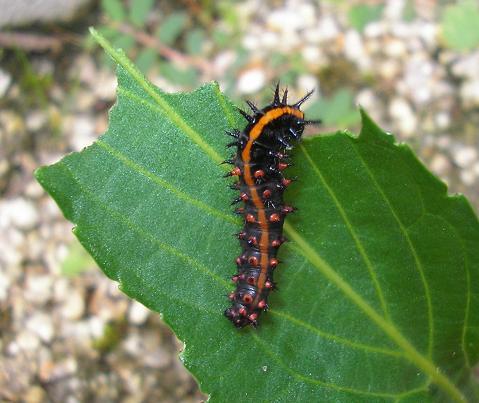ツマグロヒョウモン幼虫