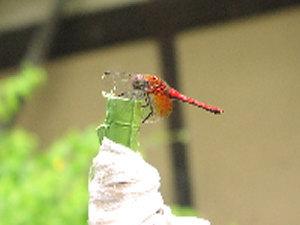 """庭を飛んでいる""""赤とんぼ""""を見つけました"""
