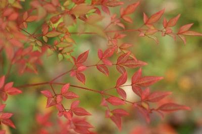 南天って、紅葉すんるんでしたっけ? 生まれたてが赤いんでしたっけ?