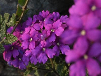 花言葉は「魔力」「魅了する」。えぇ、きっちり魅了されております。